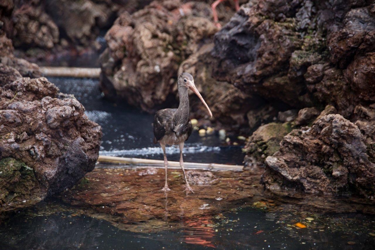 Fotografia Loro Parque ve crecer a dos crías de Ibis Escarlata