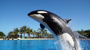 Loro Parque espera que la orca Morgan dé a luz al final del verano