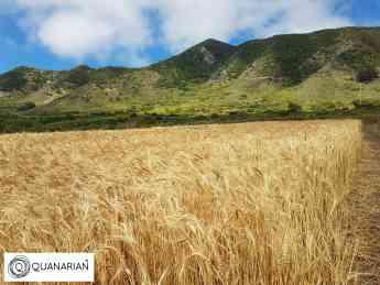 Cosecha Trigo en las Islas Canarias