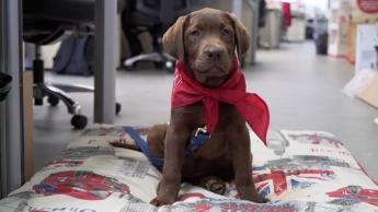 Purina colabora con Fundación Adecco y Associació CRIT para socializar a futuros perros de terapia
