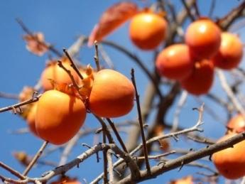 El caqui persimón, la variedad más destacada de Valencia