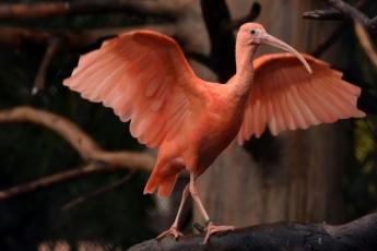 Loro Parque ve crecer a dos crías de Ibis Escarlata