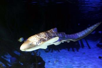 Foto de Loro Parque muestra a sus visitantes el primer tiburón cebra