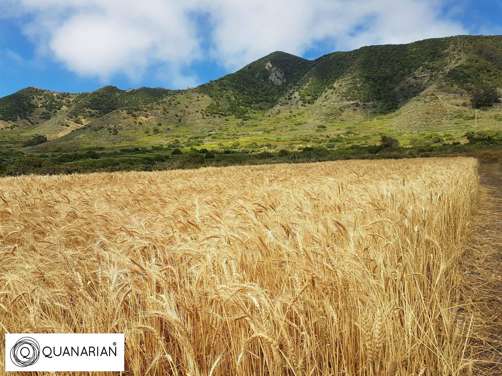 Foto de Cosecha Trigo en las Islas Canarias
