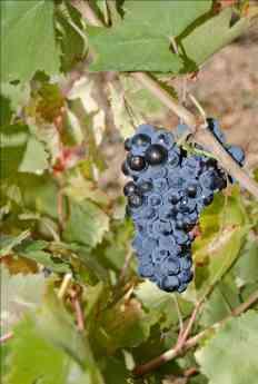 Variedades uva Cariñena