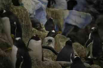 Loro Parque recibe la Navidad con el nacimiento de 14 pingüinos