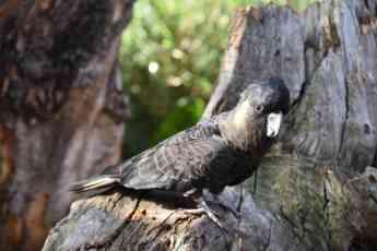 Cacatúa negra en Loro Parque