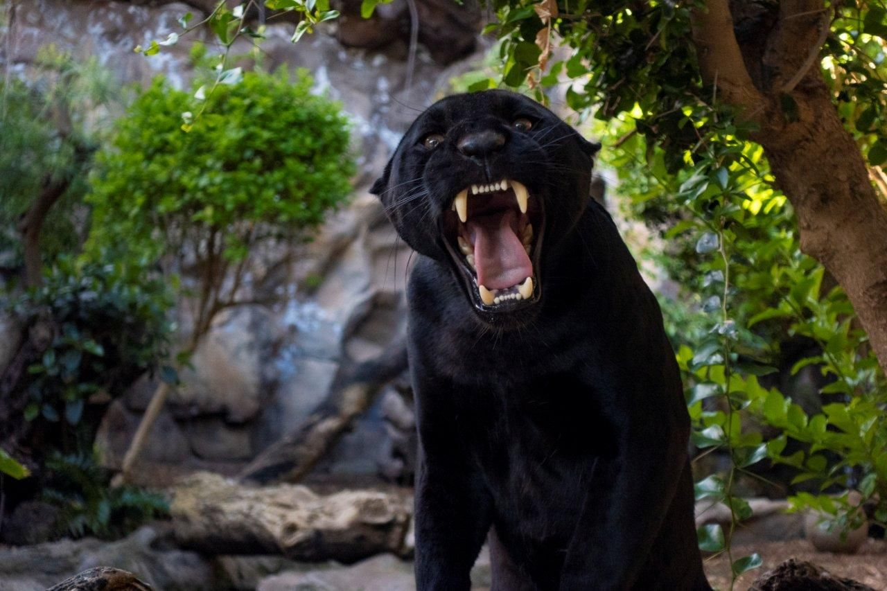 Foto de Loro Parque da la bienvenida a un nuevo jaguar