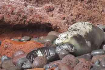 Foto de Madre y cría de foca monje en la entrada de una cueva en las