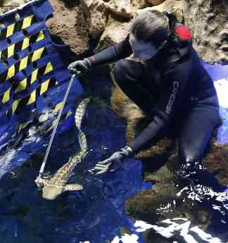 Foto de Entrenamiento de tiburón cebra en Poema del Mar