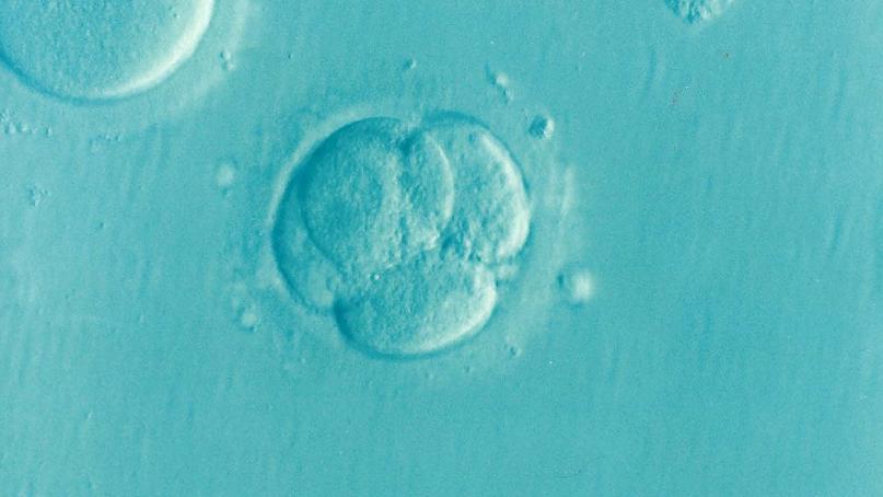 Fotografia La fitohemaglutinina, utilizada para crear embriones de