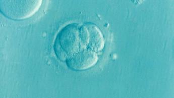 """La fitohemaglutinina, utilizada para crear embriones de """"3"""