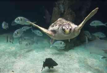 Una tortuga marina con una lesión medular irreversible encuentra un