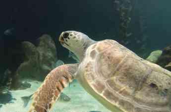 Foto de Una tortuga marina con una lesión medular irreversible