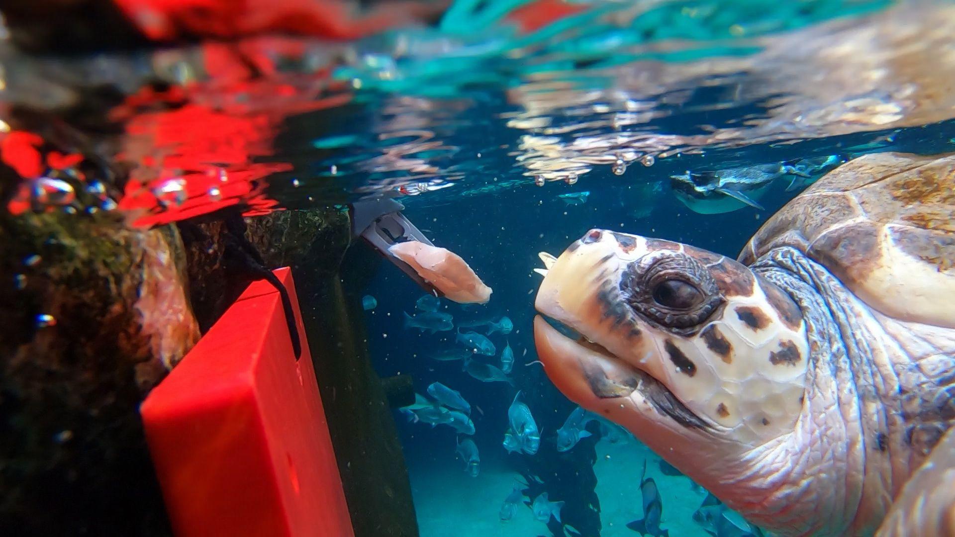 La tortuga Federica disfruta de su nueva vida en Loro Parque