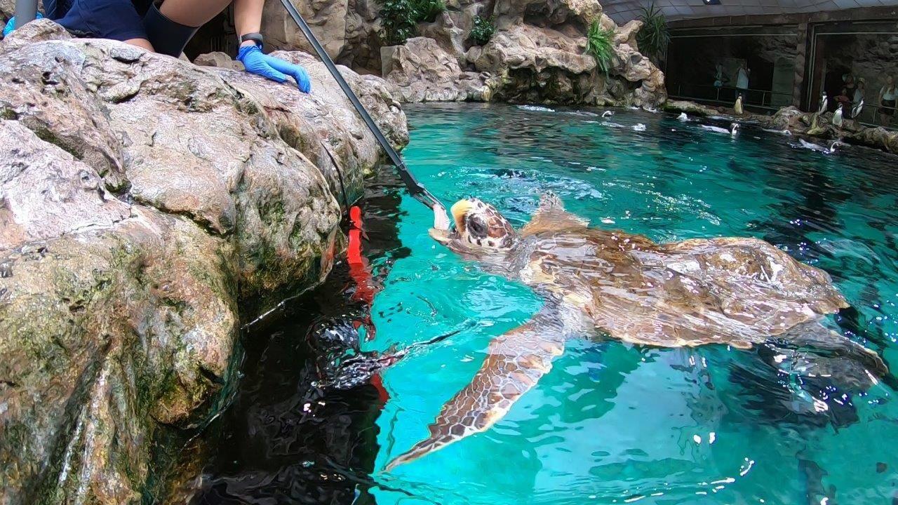 Fotografia La tortuga Federica disfruta de su nueva vida en Loro