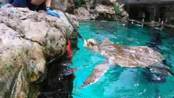 Foto de La tortuga Federica disfruta de su nueva vida en Loro Parque