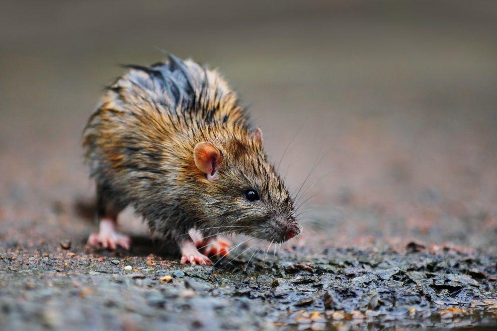 Foto de Rata tras la lluvia
