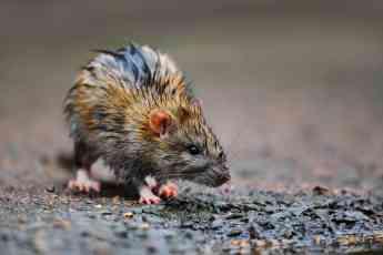 Rata tras la lluvia