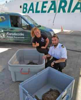 Baleària ha transportado 15 tortugas heridas desde Ibiza para su recuperación en el Palma Aquarium de Mallorca en dos años
