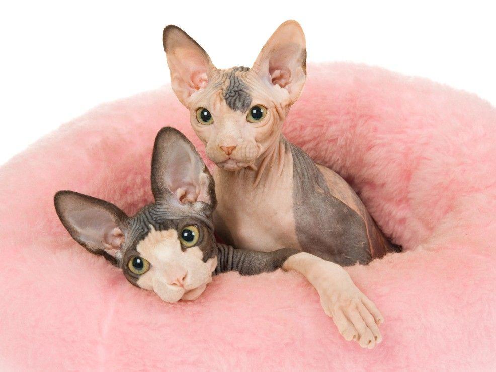 Foto de gatos sin pelo esfinge sphynx