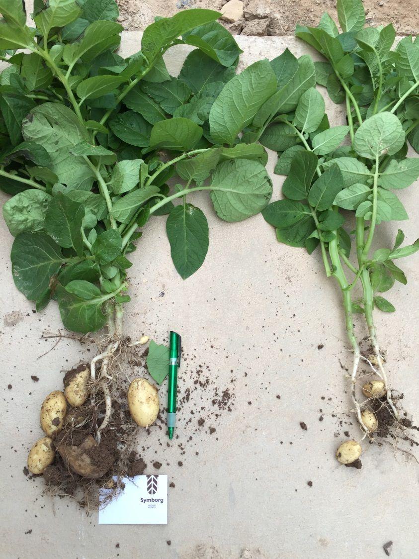 Foto de Ensayo del bioestimulante MycoUP de Symborg en patata.