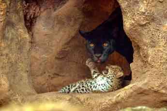 Foto de Loro Parque celebra el nacimiento de los mellizos de jaguar
