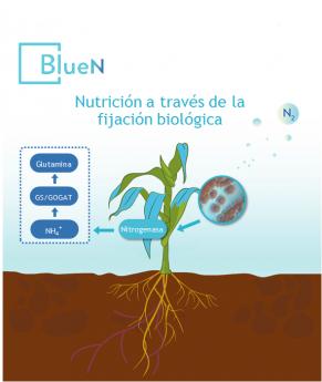 Desde las hojas, BlueN de Symborg transforma el N del aire en aminoácidos asimilables por las plantas.