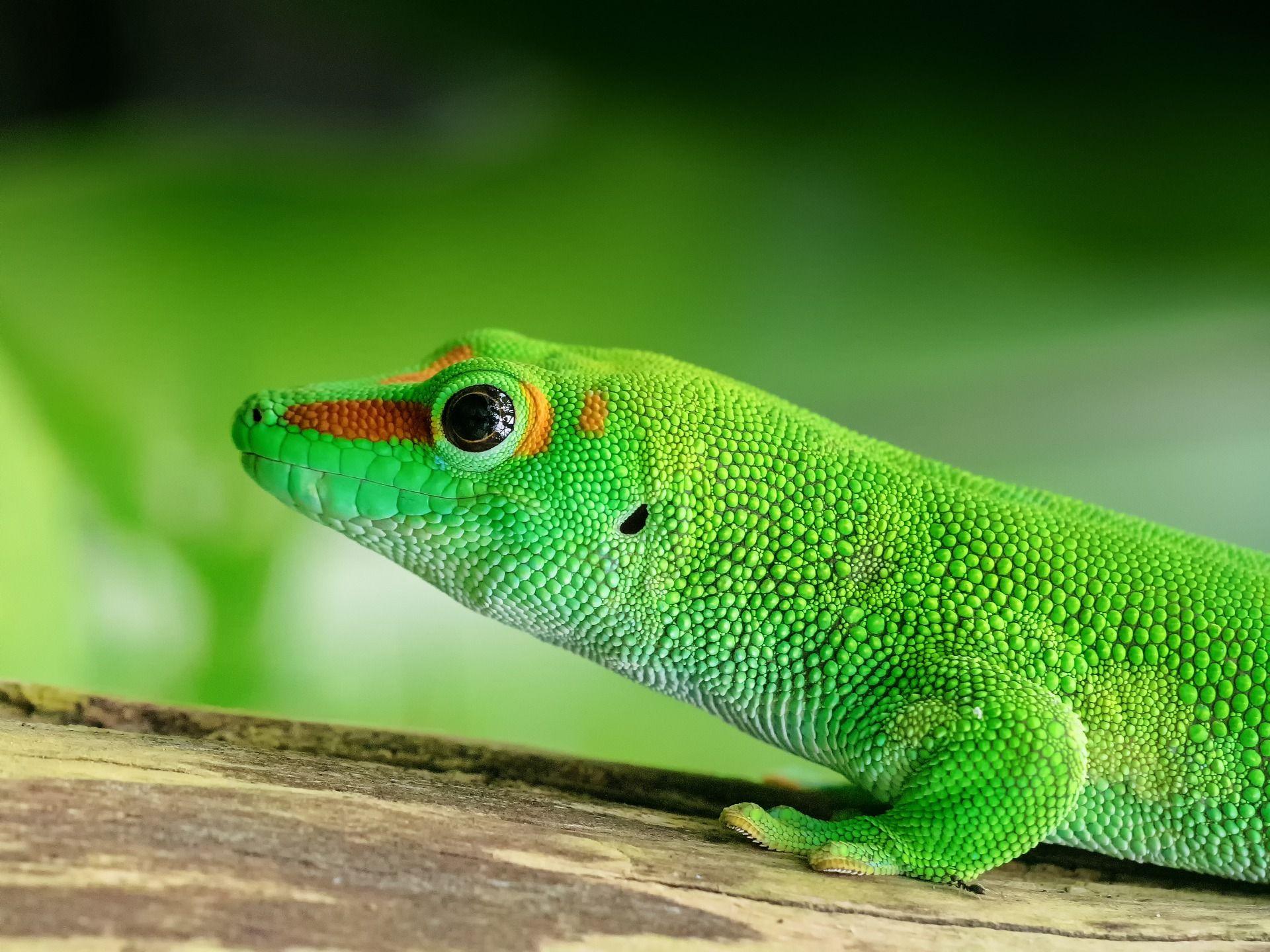 Foto de Gecko animal exótico