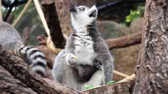Foto de Un rayo de esperanza en Loro Parque: nace una cría de lémur