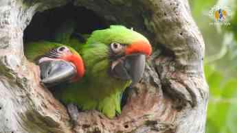 Loro Parque Fundación contribuye a la liberación de seis guacamayos en Ecuador