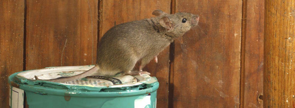 Rentokil Initial: El confinamiento incrementa las plagas de ratas y ratones en las ciudades
