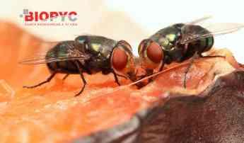 Biopyc control de insectos voladores