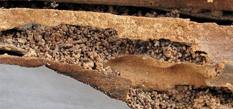 """Rentokil Initial da las claves para acabar con las """"termitas de madera seca"""""""