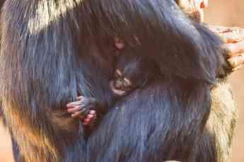 Foto de Nace una cría de chimpancé en Loro Parque
