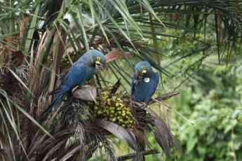 Ejemplares nacidos en Loro Parque Fundación-Tenerife, alimentándose en la naturaleza