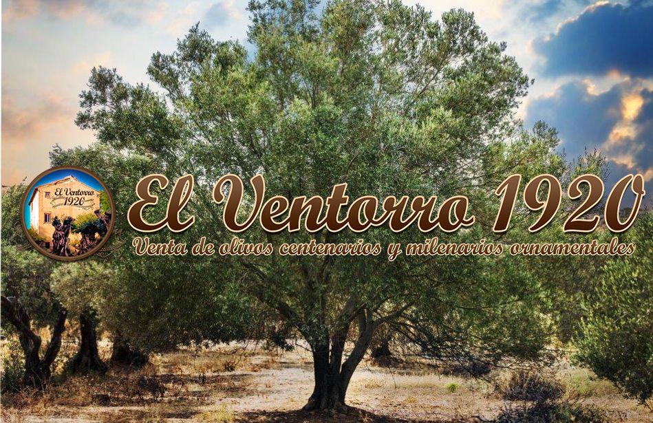 Fotografia El olivo, el árbol decorativo de moda, por OLIVOS EL