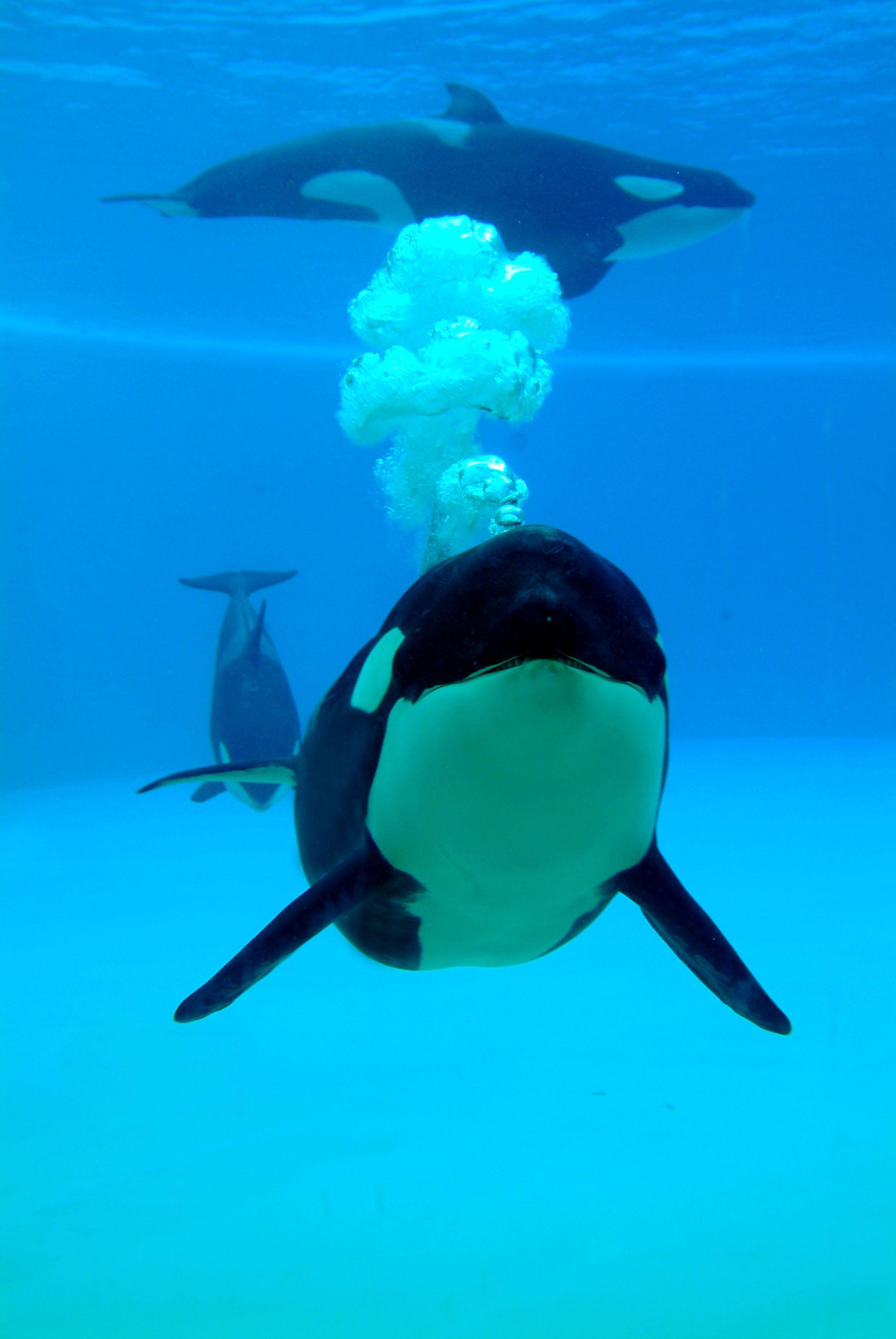 Fotografia Orcas en Loro Parque