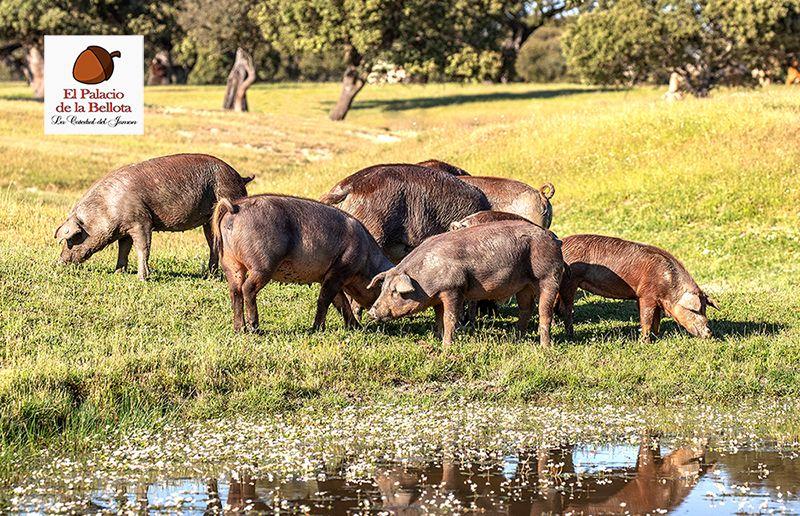 Fotografia Cerdos alimentándose libremente