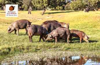 Cerdos alimentándose libremente