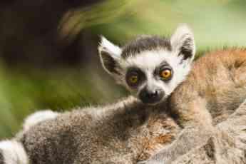 Loro Parque da la bienvenida a una nueva cría de lémur de cola