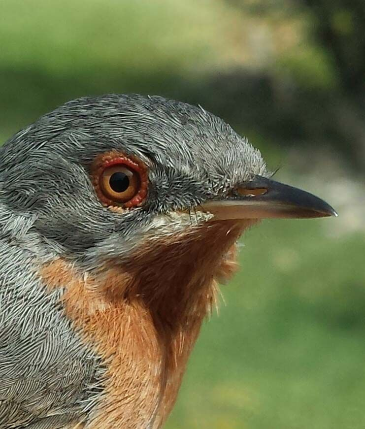 Fotografia Estación de anillamiento científico de aves 'Hortensis'