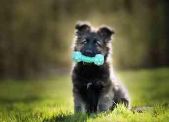 Foto de Cachorro de perro de raza grande