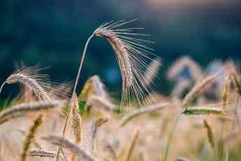 Noticias Agricultura   Centeno