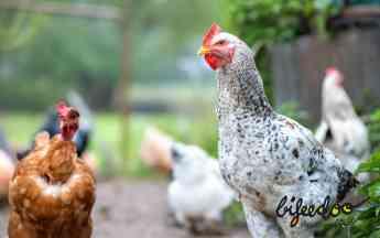 Noticias Salud | Pienso ecológico gallinas